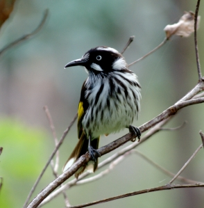New Holland Honeyeater photographed by Richard Akers