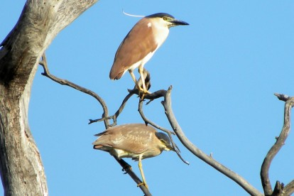 night herons eynesbury lake 31 dec 2012 1