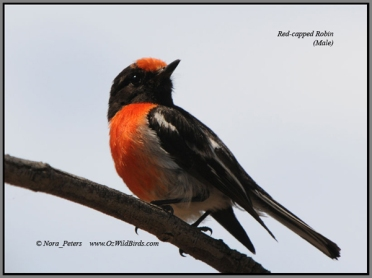 Red-capped-Robin-(M)-wha-5-1-10 w