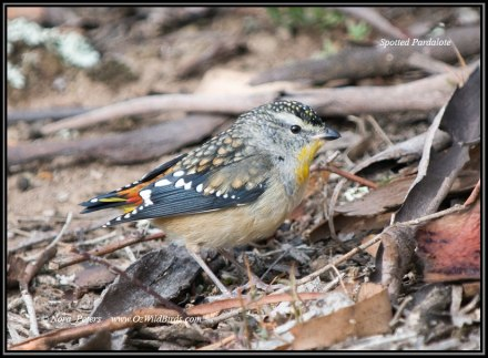 Spotted-Pardalote-hka-16-5-09
