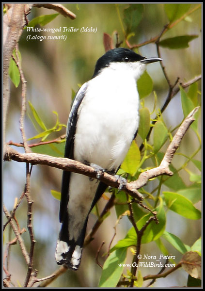 White-winged-Triller-(Lalage-sueurii)-(Male)-N-bpa-D-25-11-12