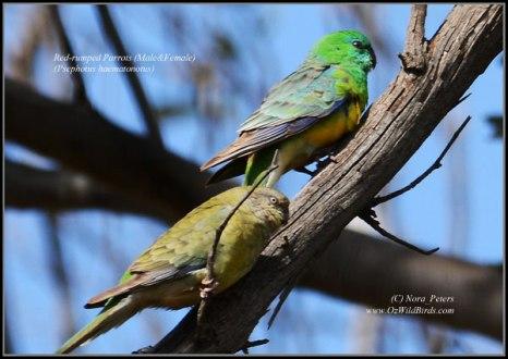 Red-rumped-Parrots-(M&F)-(Psephotus-haematonotus)-N-eyna-D-28-9-13