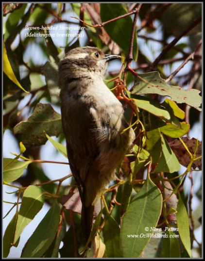Brown-headed-Honeyeater-(Melithreptus-brevirostris)-N-bpa-D-25-11-12