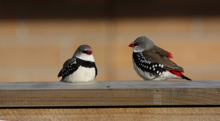 Diamond Firetail II chris luniardi