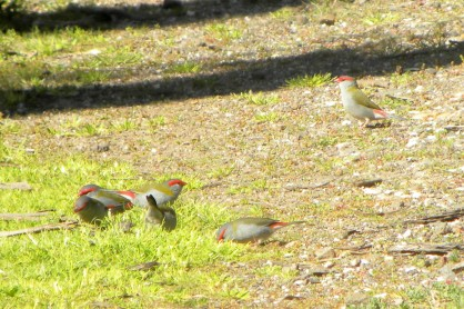REd-browed finches eynesbury 3 sep 2012