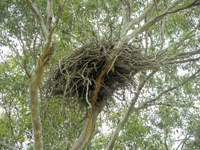 wedgie nest eynesbury 12 feb 2013 1