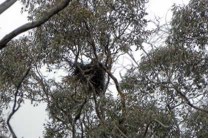 whistling kite nest enesbury 18 sep 2010