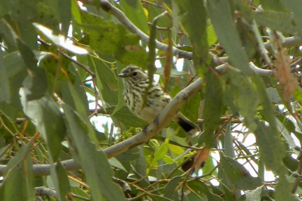 web Speckled Warbler Eynesbury 2 jan 2014 15 3